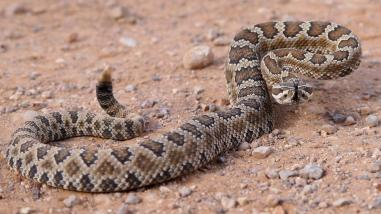 rattlesnake-ground-jpg-adapt-945-1